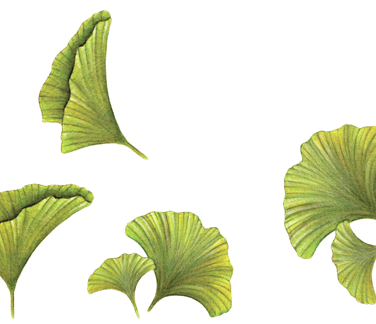 Ginkgo-power-of-nature